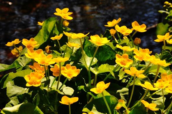 Early Spring Wildflowers Marsh Marigold Nick S Nature Pics