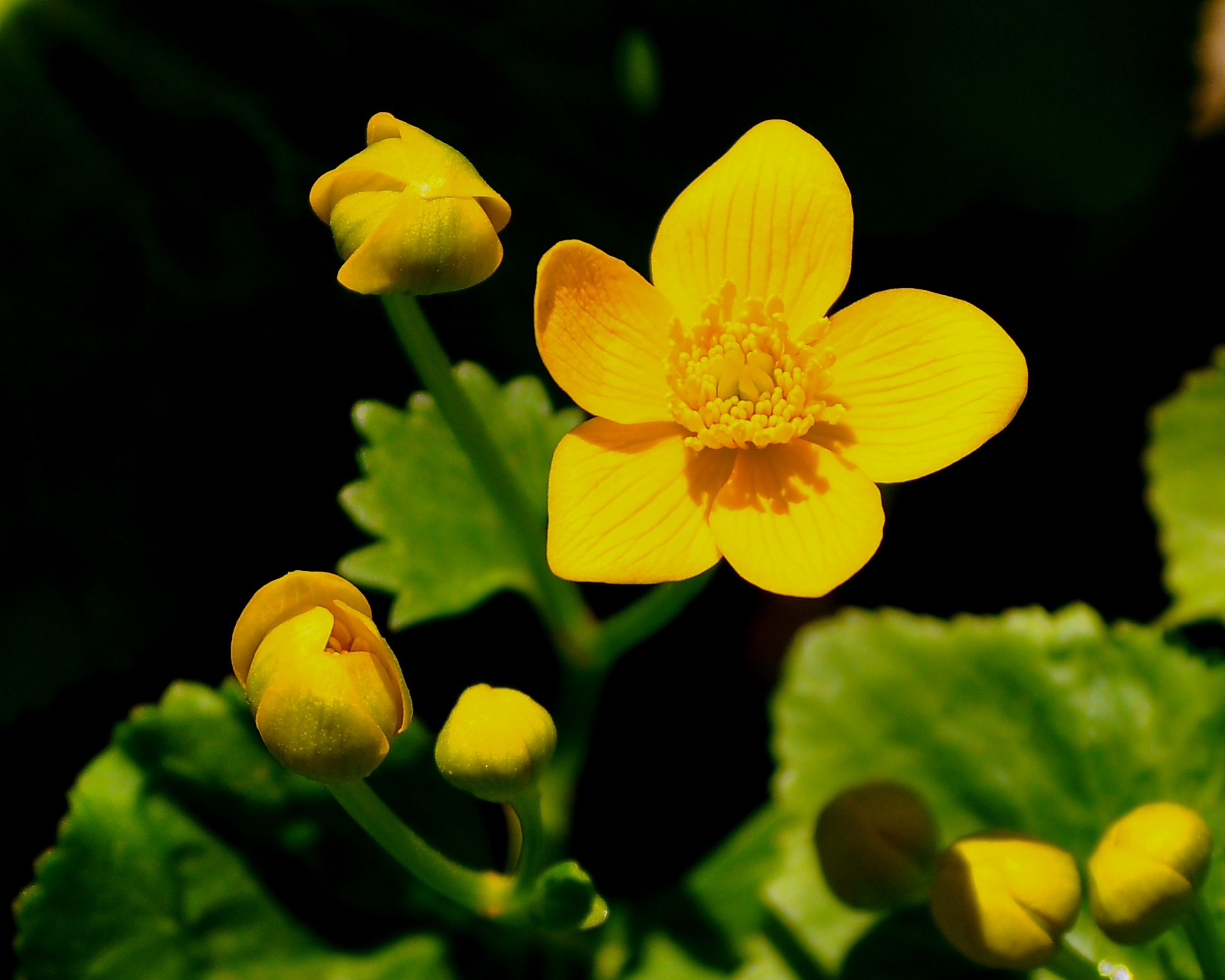 Early Spring Wildflowers Marsh Marigold Nicks Nature Pics