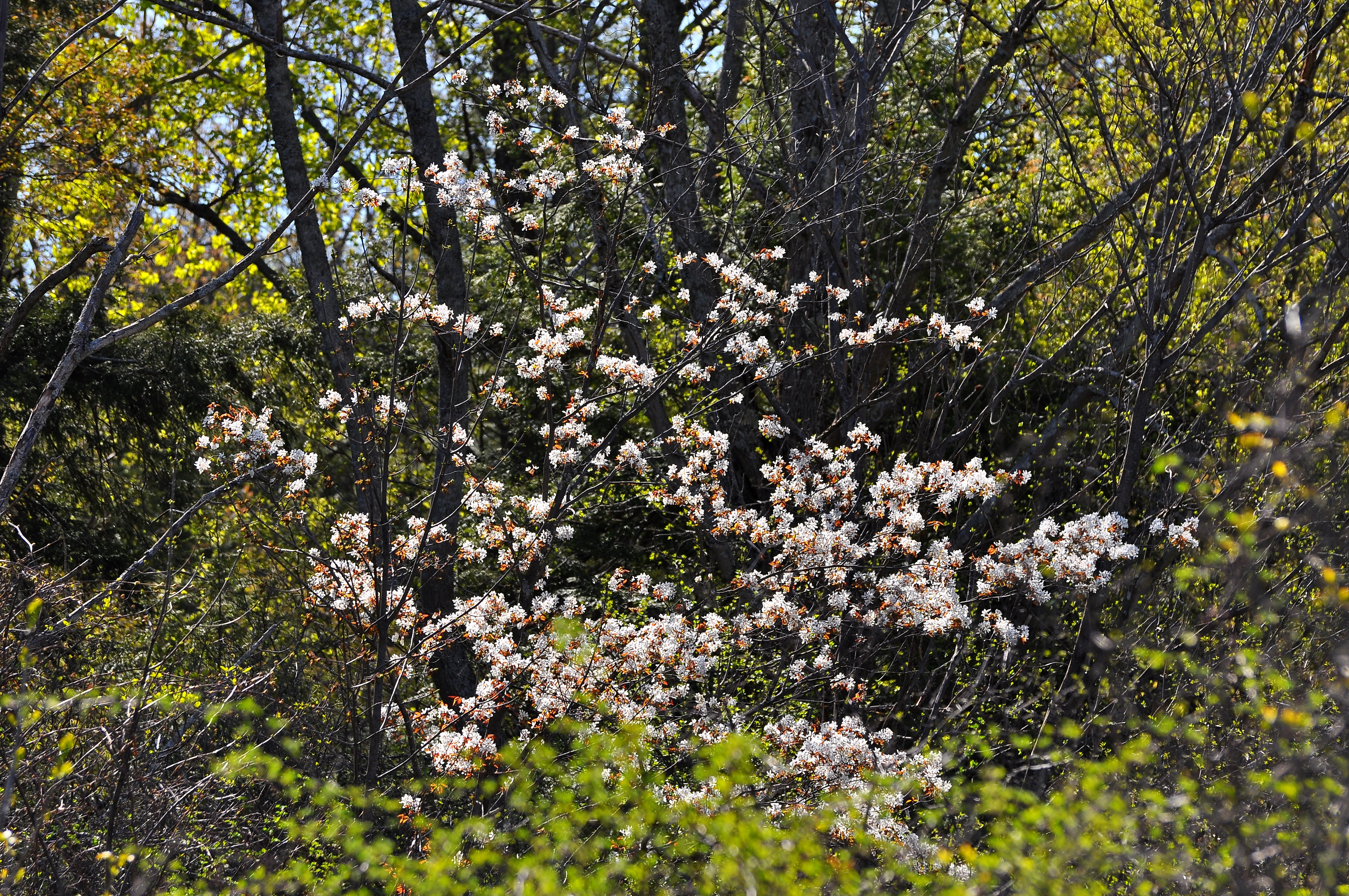 Small flowering trees in the landscape serviceberry Small flowering trees
