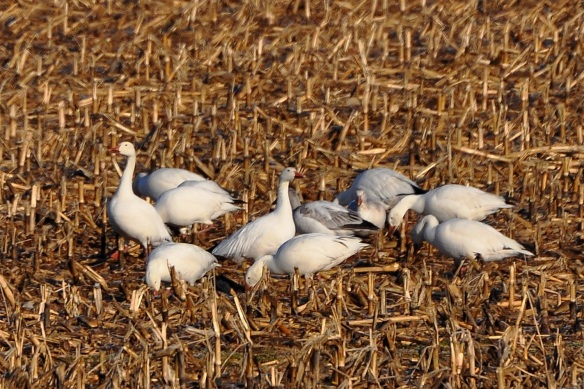 SnowGeese30Mar13#046E