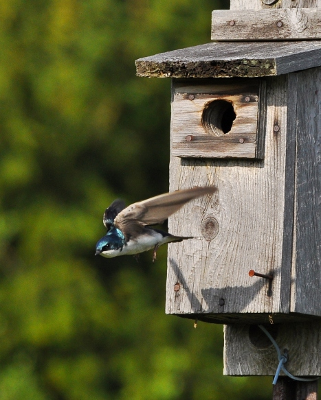 TreeSwallow10May13#044E