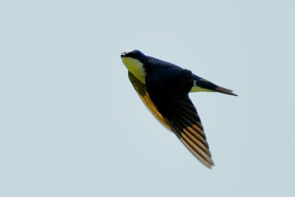 TreeSwallow19May12#073E3