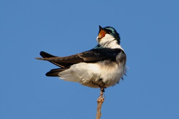 TreeSwallow4Apr12#108E