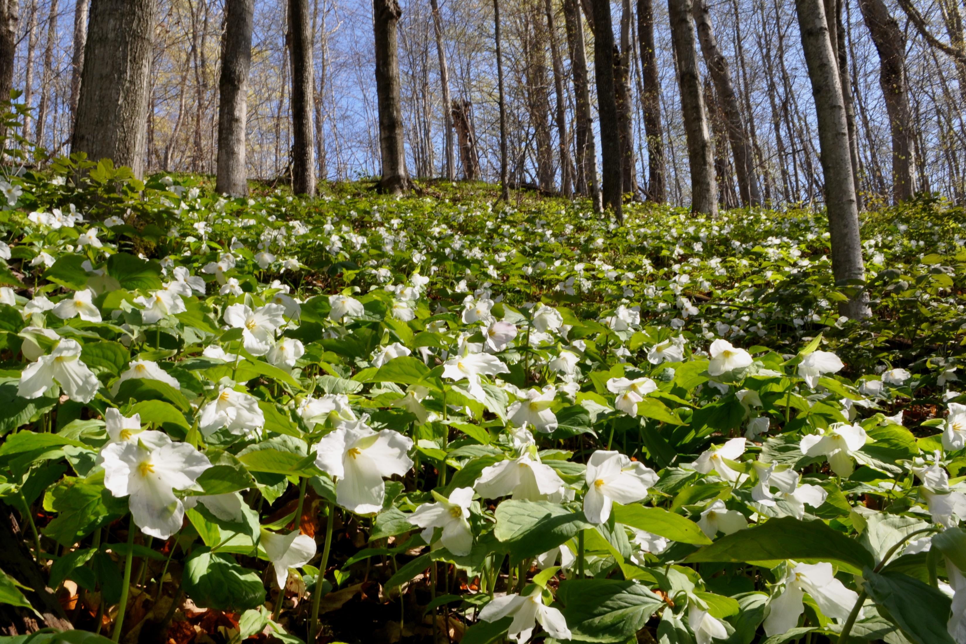 White Trillium Nicks Nature Pics