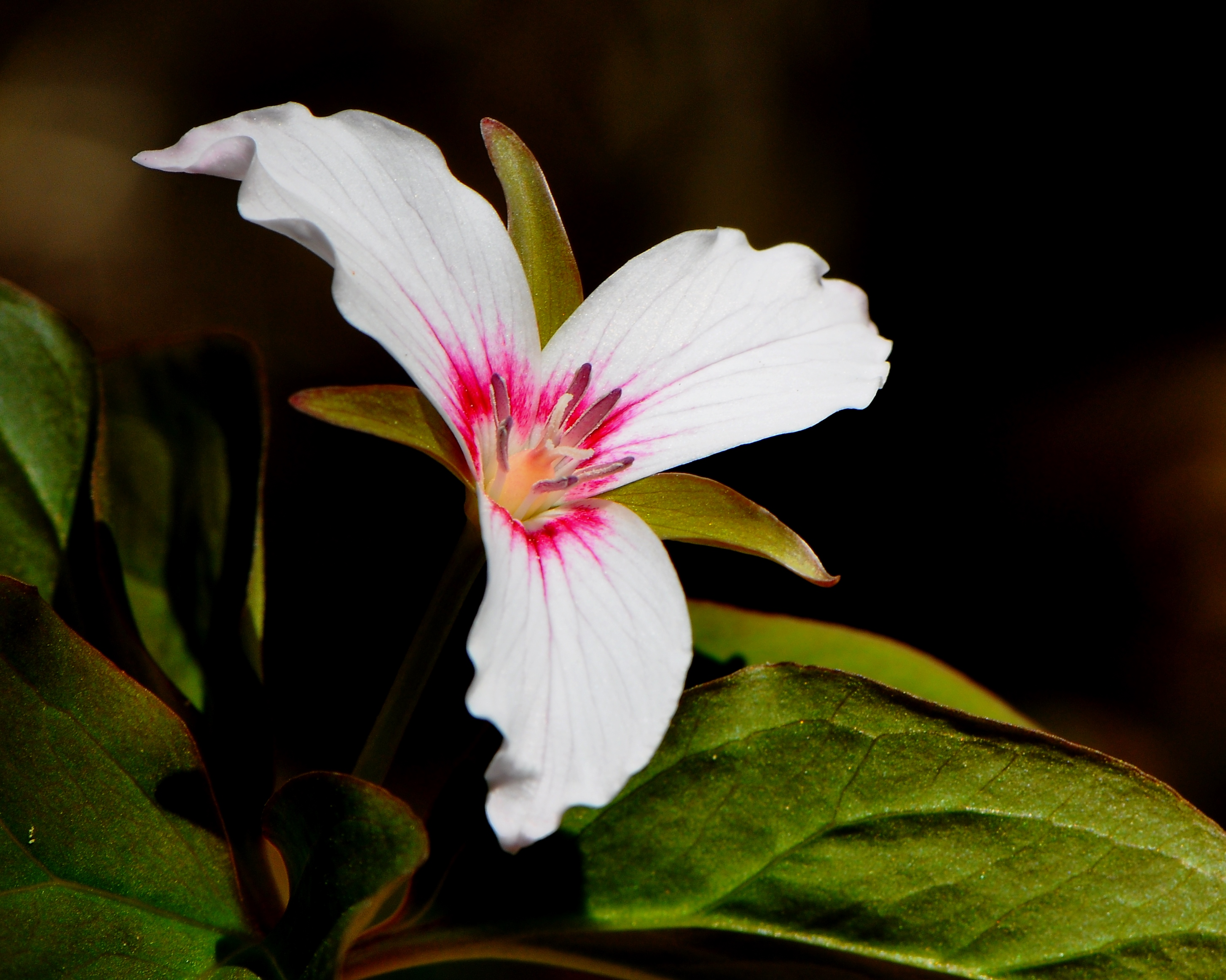 Spring Wildflowers The Trilliums Nick S Nature Pics