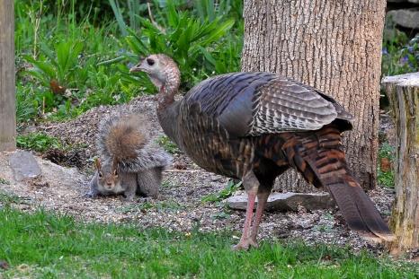 TurkeySquirrel7May13#103E