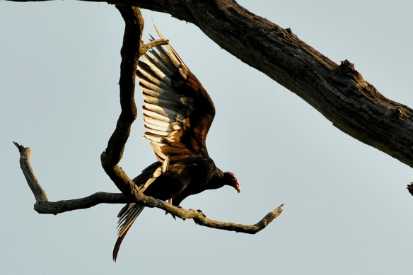TurkeyVulture29May12#035E5