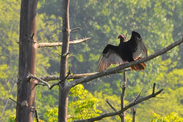 TurkeyVulture29May12#047E5