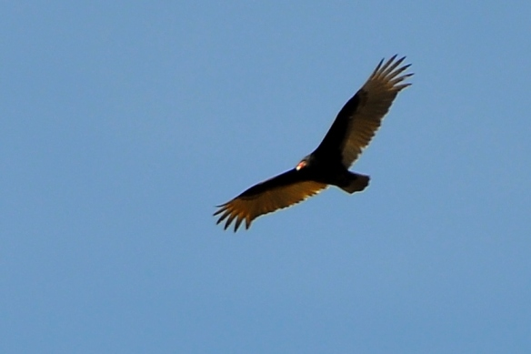 TurkeyVulture4Apr13#046E