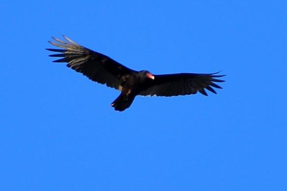 Vulture14Apr13#071E