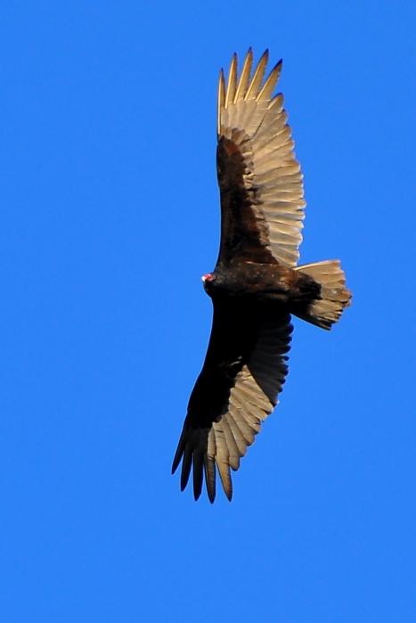 Vulture14Apr13#087E