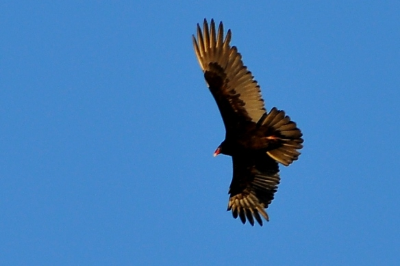 Vulture14Apr13#092E