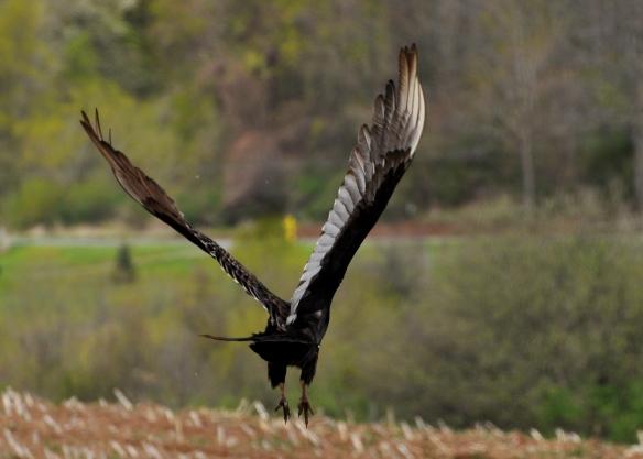 Vulture27Apr12#055E