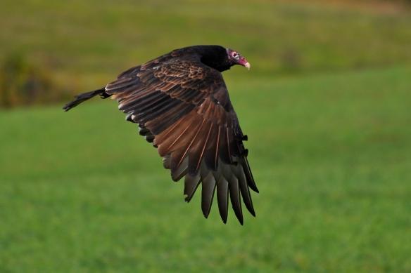 Vulture28Sept12#010E