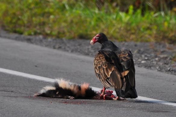 Vulture28Sept12#012E
