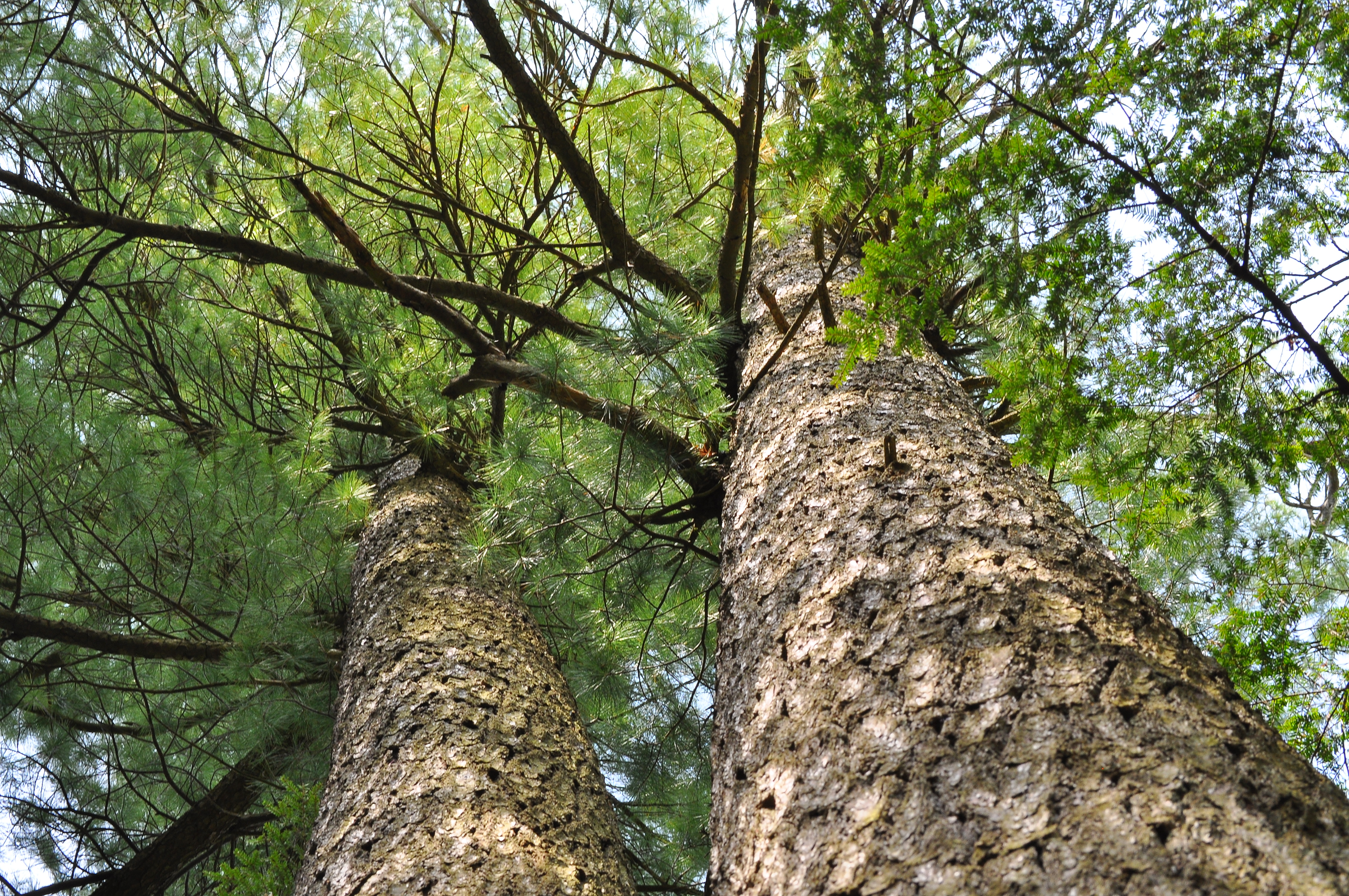 Pictures Of A Pine Cedar Tree 90