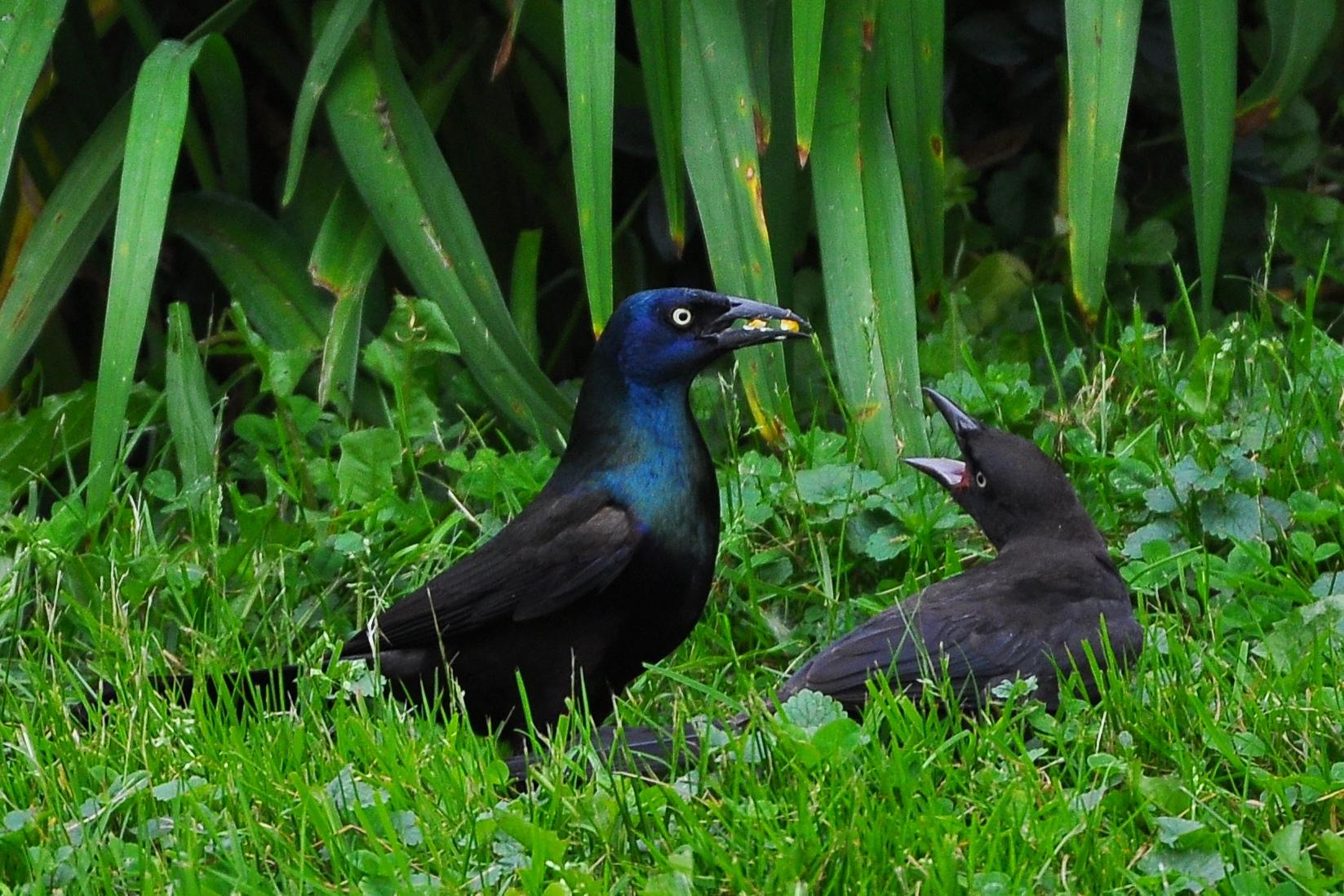 fledgling grackle - photo #49