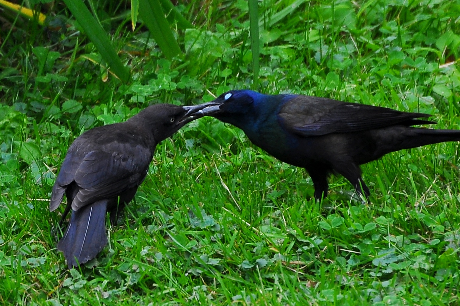 fledgling grackle - photo #10