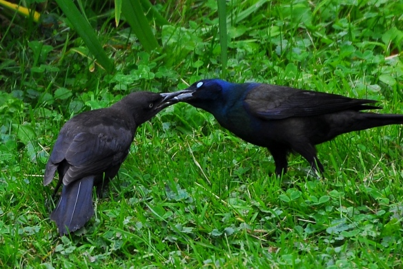 Grackles22June13#071E2