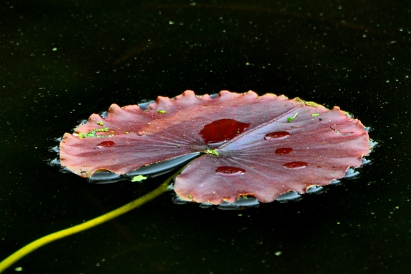 LilyPad11June13#027E