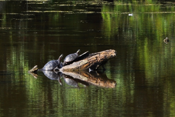 PaintedTurtles21Aug12#086E3
