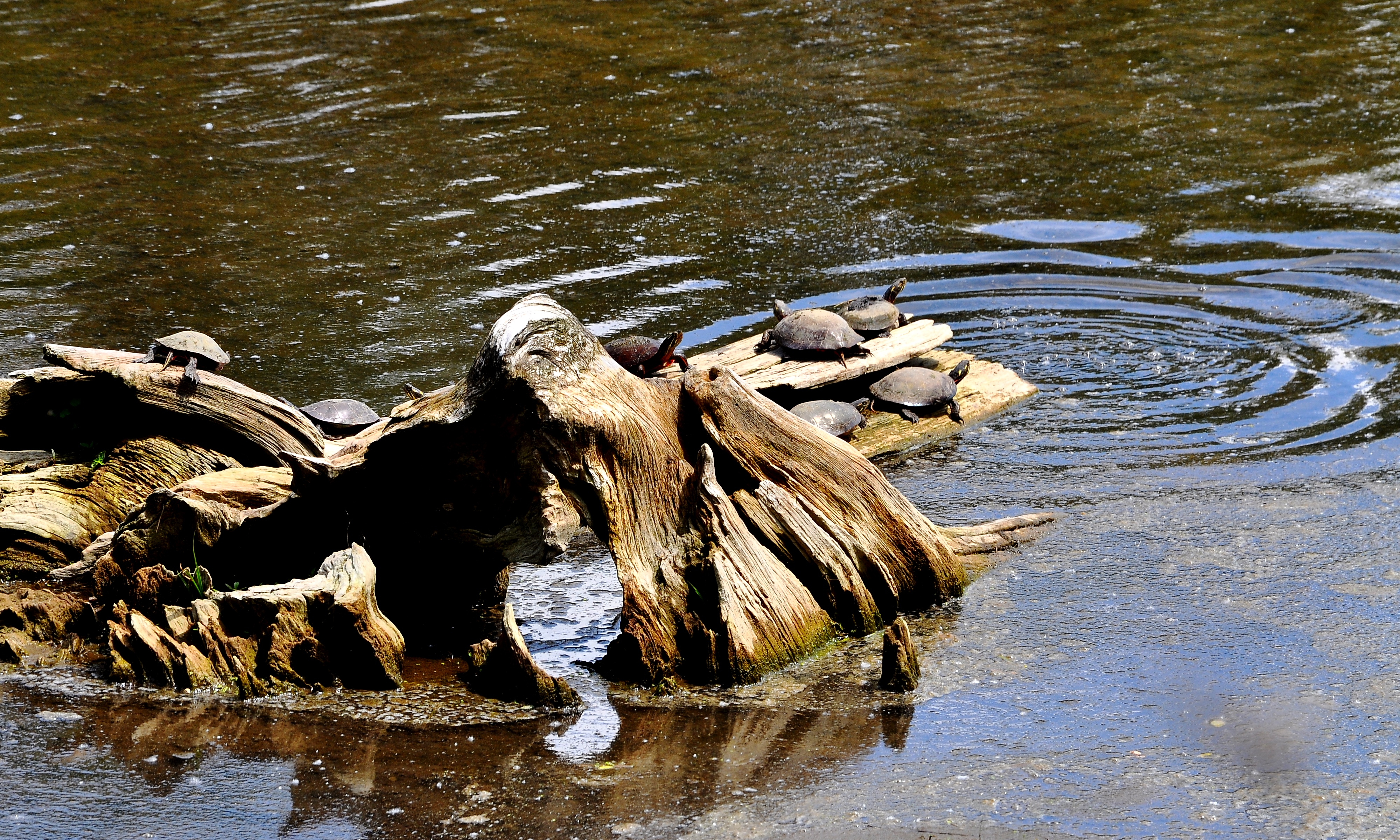 Painted Turtles; one just slipped back into the water, perhaps to feed ...