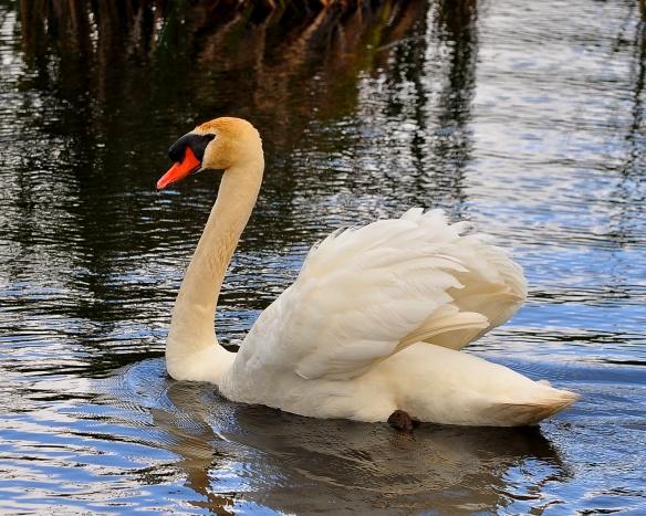 Swan14June13#005E