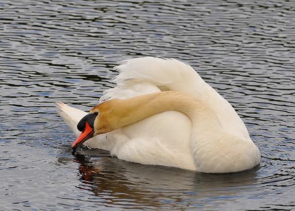 Swan14June13#008E