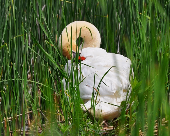 Swan14June13#031E