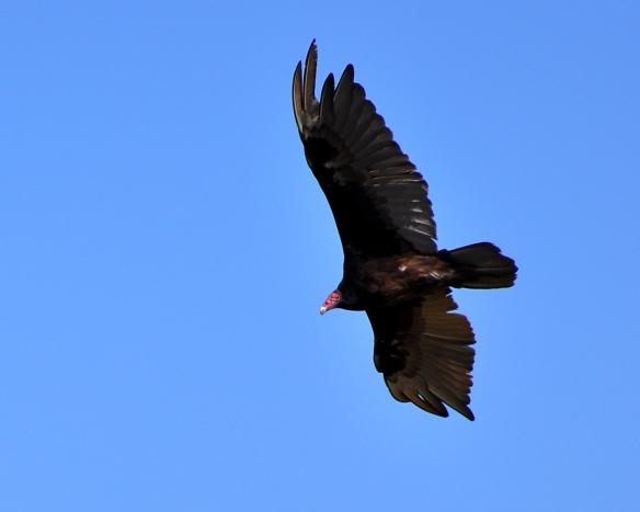 Vulture20June13#028E