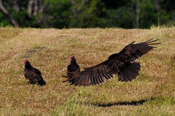 Vultures20June13#018E