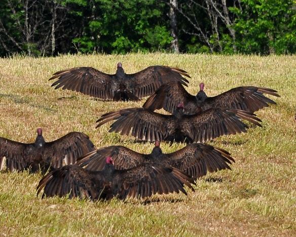Vultures20June13#054E