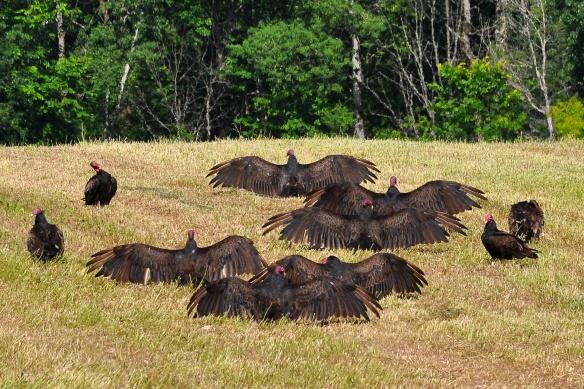 Vultures20June13#056E
