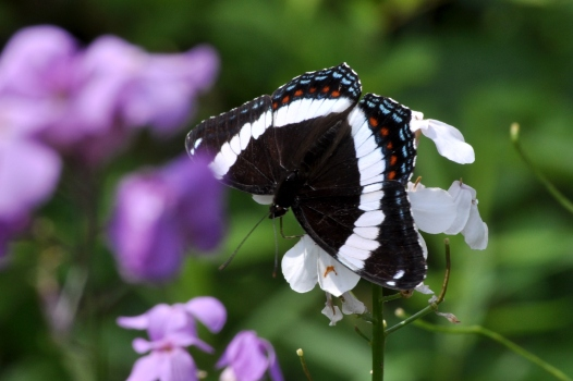 WhiteAdmiral17June11#4E3
