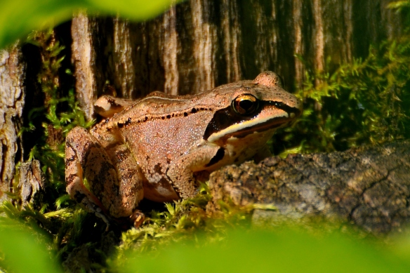 WoodFrog23June13#004E