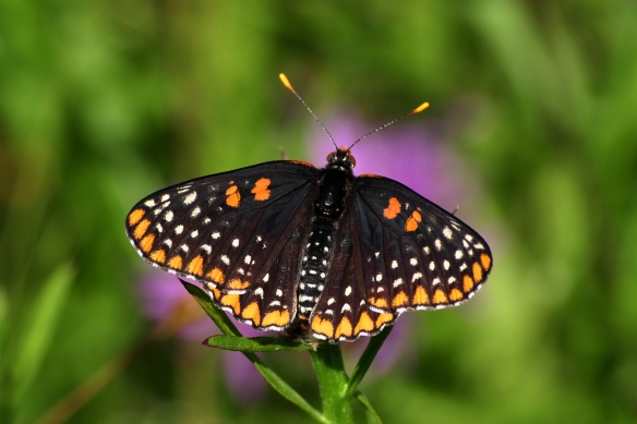 BaltCheckerspot30June12#024E