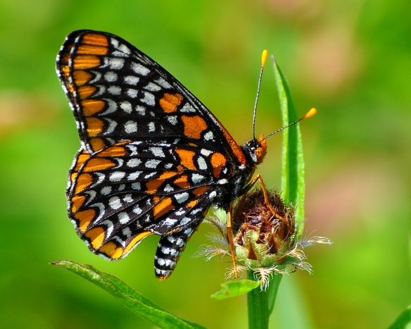 BaltCheckerspot7July13#100E2