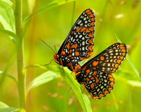 BaltCheckerspot9July13#098E