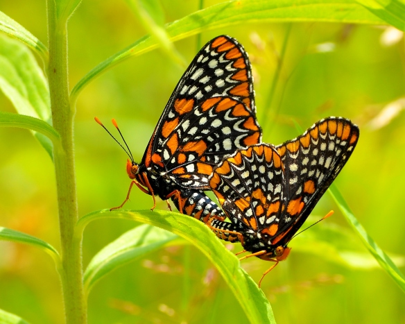 BaltCheckerspot9July13#122E