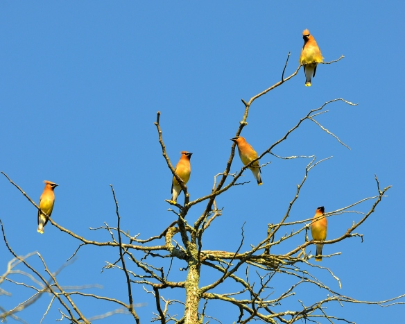 CedarWaxwings15July13#118E