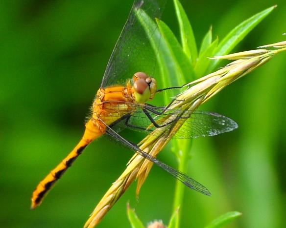 Dragonfly11July13#002E