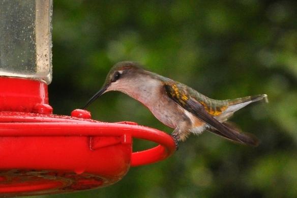 Humbird20July12#091E
