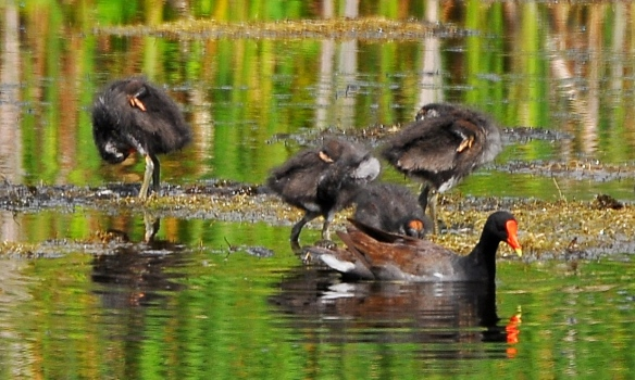 Moorhens14July13#131E
