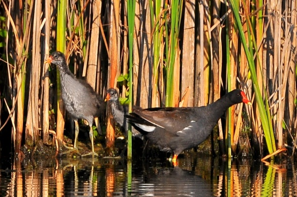 Moorhens17July13#052E