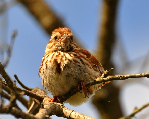 Sparrow25July13#119E