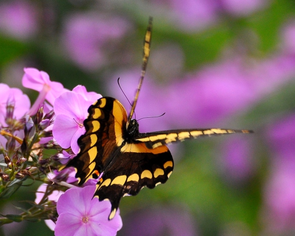 GiantSwallowtailPhlox12Aug13#104E