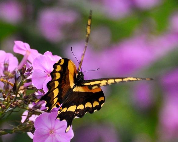 GiantSwallowtailPhlox12Aug13#104E
