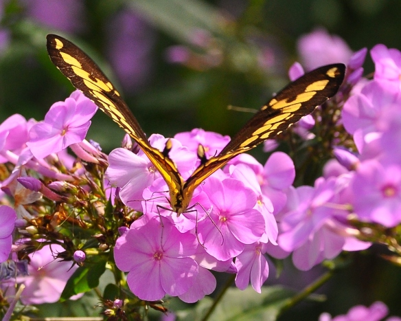 GiantSwallowtailPhlox12Aug13#138E