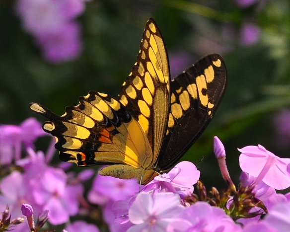 GiantSwallowtailPhlox12Aug13#144E