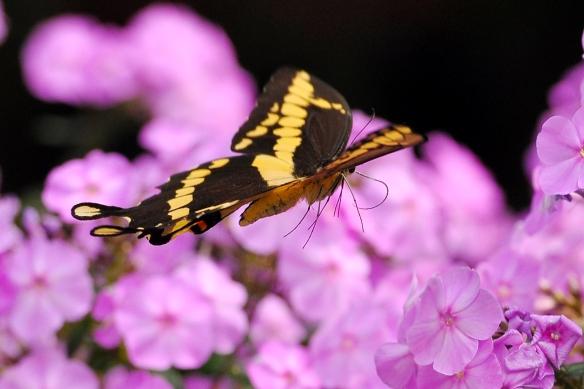 GiantSwallowtailPhlox12Aug13#156E2